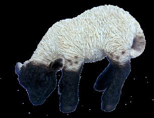 Lamm grasend