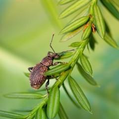 Dickmaulrüssler Käfer