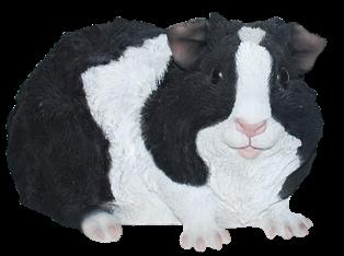 Meerschweinchen Letty