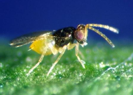 Encarsia-Schlupfwespen gegen Weisse Fliegen